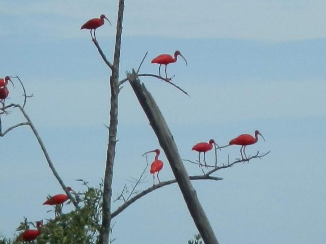 rode-ibis-te-bigi-pan